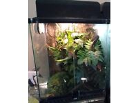 2 Young Crested Geckos with Exo Terra 15x15x30 set up and all equipment