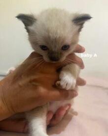 4 Ragdoll Kittens for Sale