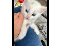 White kitten for sale - READY