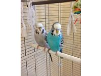 Pair of budgies with vision bird cage