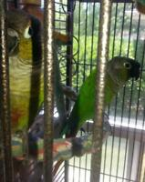 Green Cheek Conures & Large Cage