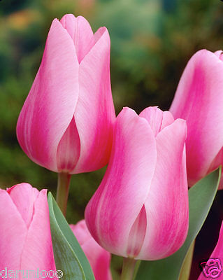 5 BULBS TULIPS PEER GYNT PINK ROSE GARDENING SPRING SUMMER FLOWER PERENNIAL