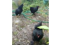 Hens and Baby Budgie for Sale