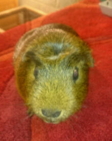 Crested Smooth Coat Agouti Guinea Pig Boar/Boy