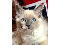 Stunning long haired Ragdoll x Female Kitten