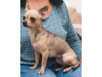 Chihuahua Shortcoat Wolf Sable female for sale