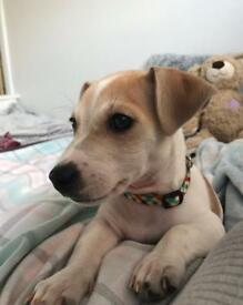 Jack Russel Pup for Sale