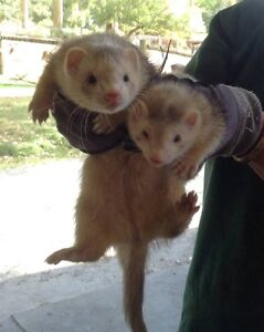 Ferrets - four young males available Denmark Denmark Area Preview