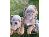 Lilac and Tan British bulldog for sale ** Ready To Leave Now **