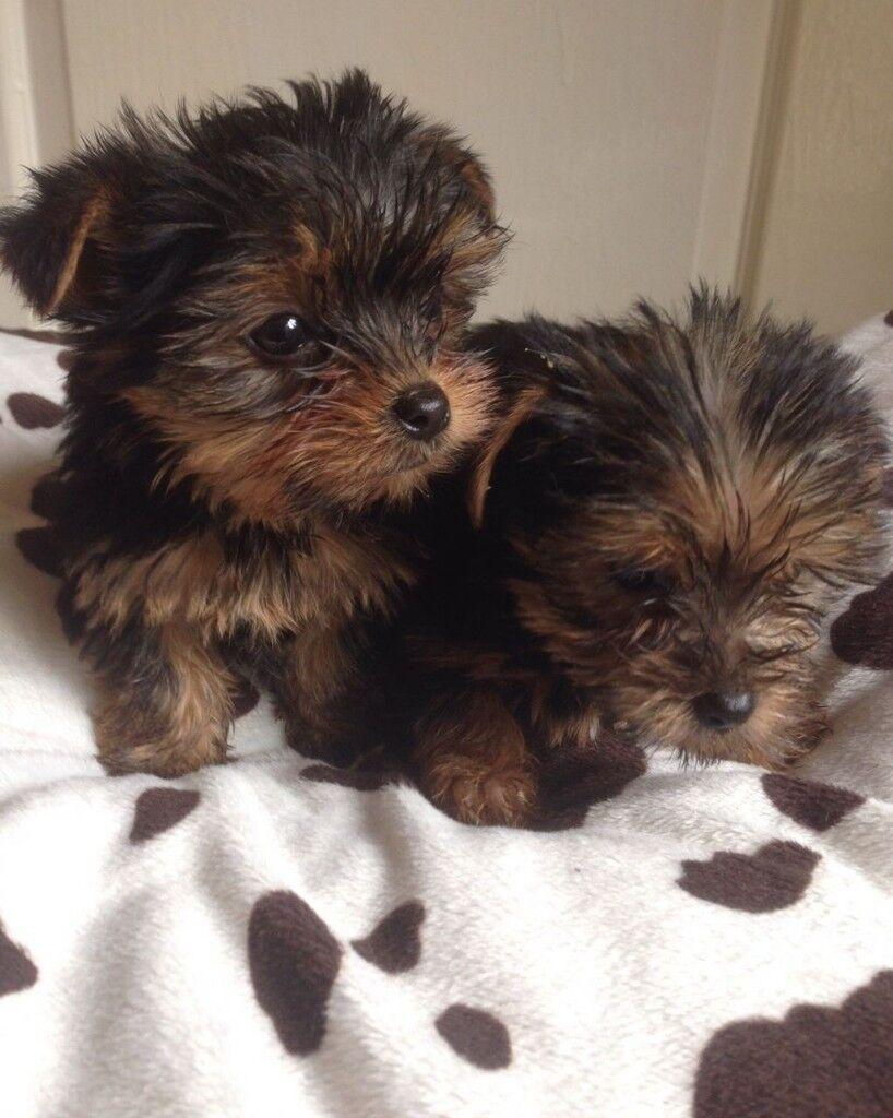 Miniature Yorkshire Terrier Puppies In Bury Manchester Gumtree