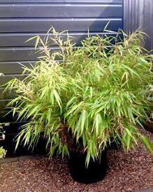 Bamboo Plant in 21 litre Patio Tub (Fargesia Rufa) Fountain Bamboo