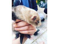 Ferret babies for sale