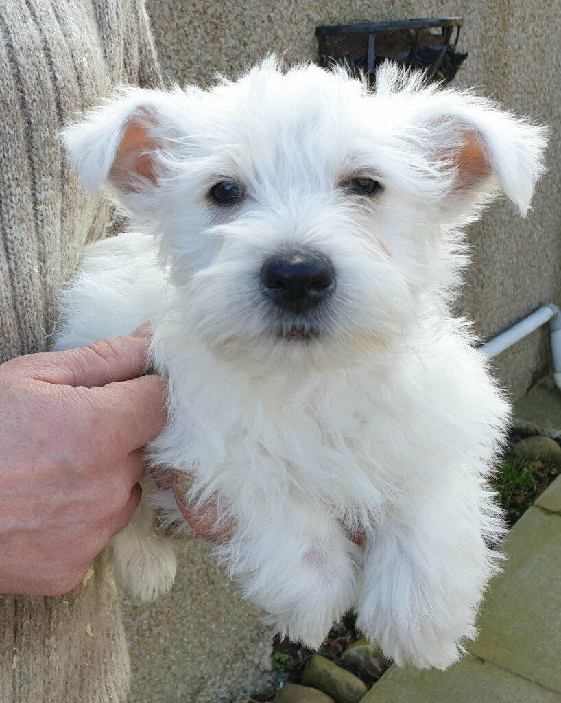 Dogs Central USA - All About Dogs and Puppies   Westie Puppies for Sale in Connecticut USA