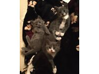 Adorable blue kittens