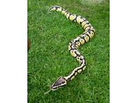 Ball python male Firefly + 4ft vivarium