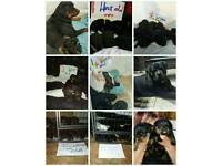 Been flead and wormed 19/5 LARGE HAND AND MOM REARED ROTTWEILER PUPS