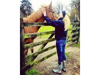 Irish Sport Horse Colt
