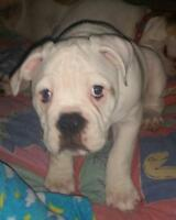 Engam bulldog female ready to go, english/american