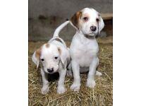 Beagle bloodhound puppies 11wks