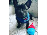 Kc registered pedigree french bulldog