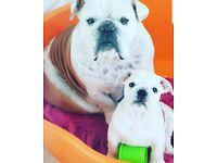Bulldog pup girl