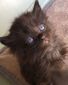 Ragdoll Cross Female Kittens **BOTH RESERVED**