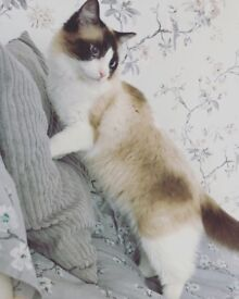 Male rag doll cat