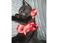 Kitten 13 week female