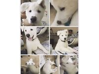 White Akita Puppy Male 10 weeks strong and healthy