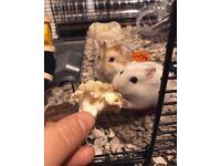 2 Female Russian Dwarf Hamsters