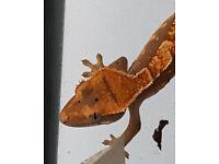 crested geckos for sale.