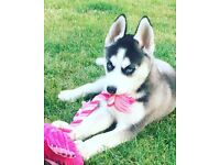 Siberian husky puppy 14 weeks old fully vacated and mircochipped