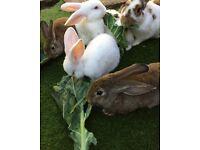 9 week old gorgeous bunnies!