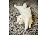 white and royal cream rare pure Persian chinchilla kitten with pedigree