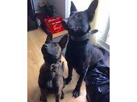 Belgian shepherd Excellent dog for sale