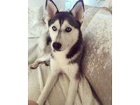 Beautiful female husky