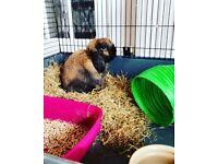 Rabbit needing an urgent home