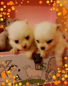 Xx Gorgeous Mini Poms xX
