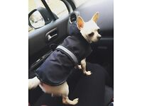 3Year old male Chihuahua needs rehoming, stunning white boy. Un neutered