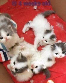 Beautiful Persian kittens - Reservation