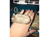 Syrian Dwarf Hamster for sale, Cage & Accessories.