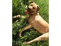11 Month old American bulldog X Presa Canario for sale