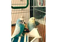 Male and female budgie for sale - PICK UP ONLY