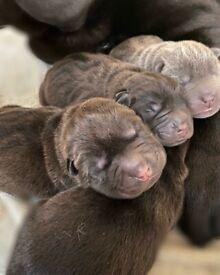 Sharpei puppies kc registered