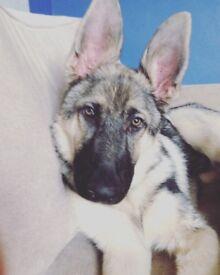 German shepherd. 9 months old. Female