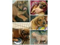 KC REGISTERED STAFFY X PEDIGREE ROTTWEILER PUPS
