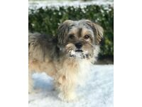 8 Month Old Male Lhasa Apso Pup