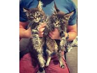 Male TICA Registered Pedigree Maine Coon Kittens