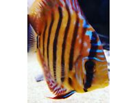 Beautiful F1 Red Alenquer Discus 5-6 Inches Approx. AAA Grade Specimens