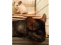 Ebony and white mother daughter chinchilla pair